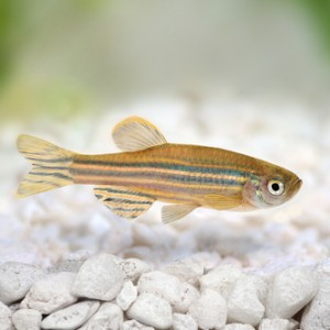 Zebrafish in IBD